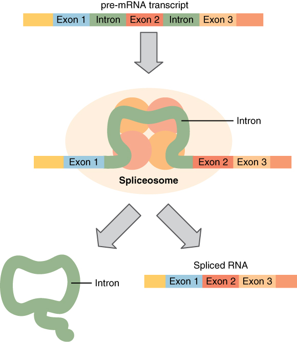 In this diagram, a pre-mRNA transcript is shown in the top of a flowchart. This pre-mRNA transcript contains introns and exons. In the next step, the intron is in a structure called the spliceosome. In the last step, the intron is shown separated from the spliced RNA.