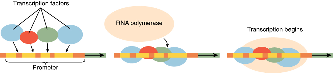This diagram shows transcription factors and then RNA polymerase binding to a stretch of RNA to initiate transcription.