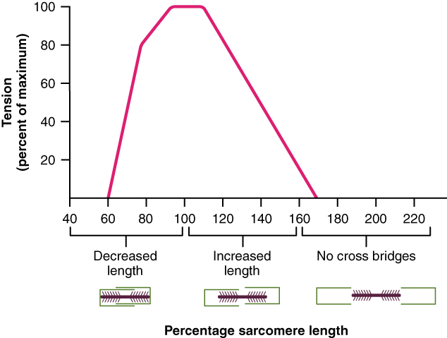 A graph shows the percent sarcomere length on the x-axis and tension on the y-axis. As the length of the sarcomere increases, the tension first increases, and then decreases.