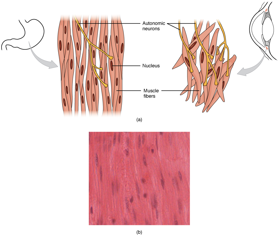 This diagram shows the structure of smooth muscle. To the left of the figure, a small diagram of the stomach is shown. To its immediate right, a magnified view of the muscle fibers are shown and a further magnification highlights the structure of these cells. Below these drawings is a micrograph showing smooth muscle tissue cells.
