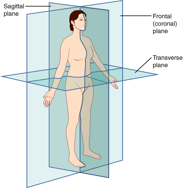 This illustration shows a female viewed from her right, front side. The anatomical planes are depicted as blue rectangles passing through the woman's body. The frontal or coronal plane enters through the right side of the body, passes through the body, and exits from the left side. It divides the body into front (anterior) and back (posterior) halves. The sagittal plane enters through the back and emerges through the front of the body. It divides the body into right and left halves. The transverse plane passes through the body perpendicular to the frontal and sagittal planes. This plane is a cross section which divides the body into upper and lower halves.