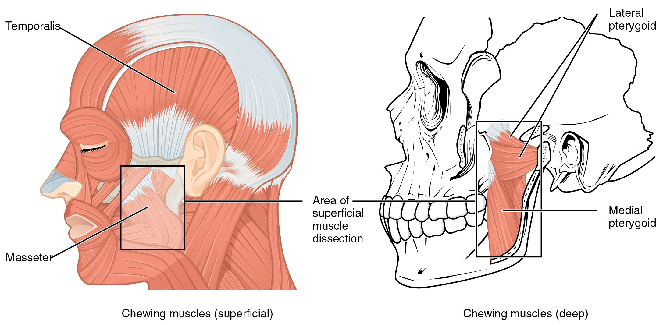 Axial Muscles of the Head, Neck, and Back – Anatomy & Physiology