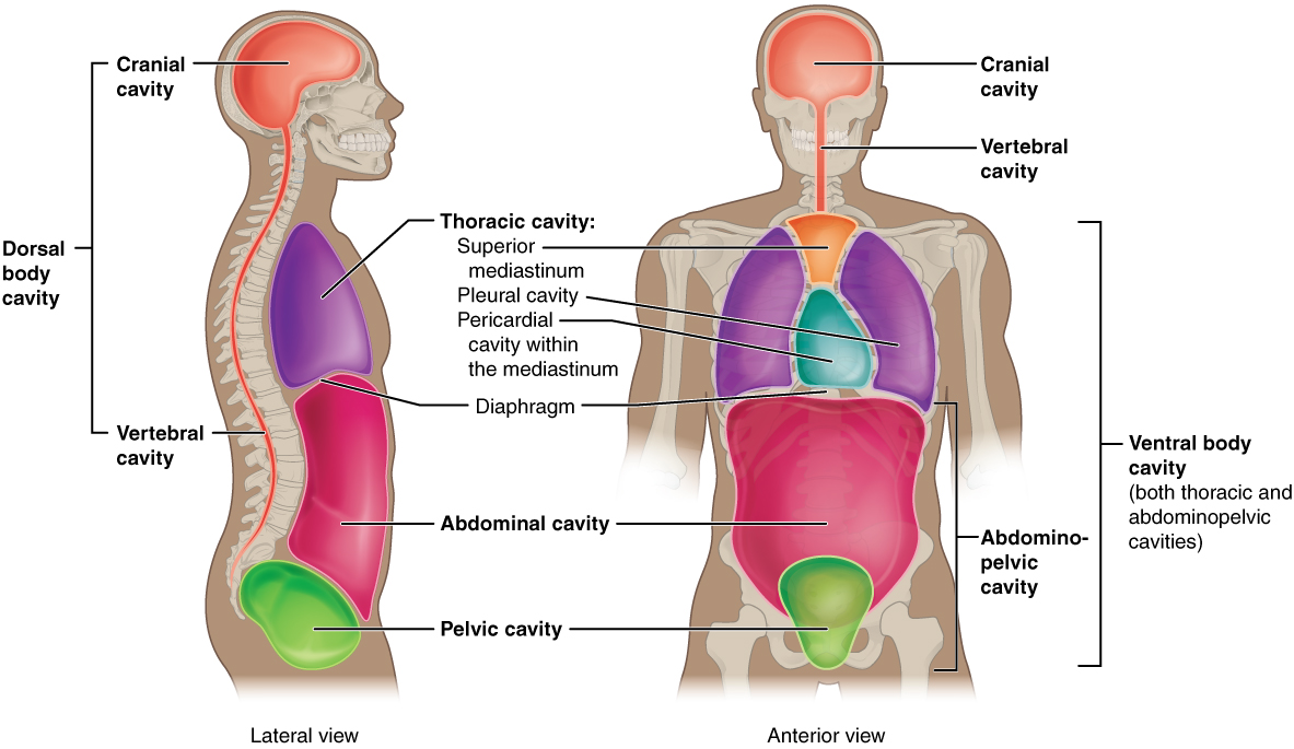 This illustration shows a lateral and anterior view of the body and highlights the body cavities with different colors. The cranial cavity is a large, bean-shaped cavity filling most of the upper skull where the brain is located. The vertebral cavity is a very narrow, thread-like cavity running from the cranial cavity down the entire length of the spinal cord. Together the cranial cavity and vertebral cavity can be referred to as the dorsal body cavity. The thoracic cavity consists of three cavities that fill the interior area of the chest. The two pleural cavities are situated on both sides of the body, anterior to the spine and lateral to the breastbone. The superior mediastinum is a wedge-shaped cavity located between the superior regions of the two thoracic cavities. The pericardial cavity within the mediastinum is located at the center of the chest below the superior mediastinum. The pericardial cavity roughly outlines the shape of the heart. The diaphragm divides the thoracic and the abdominal cavities. The abdominal cavity occupies the entire lower half of the trunk, anterior to the spine. Just under the abdominal cavity, anterior to the buttocks, is the pelvic cavity. The pelvic cavity is funnel shaped and is located inferior and anterior to the abdominal cavity. Together the abdominal and pelvic cavity can be referred to as the abdominopelvic cavity while the thoracic, abdominal, and pelvic cavities together can be referred to as the ventral body cavity.