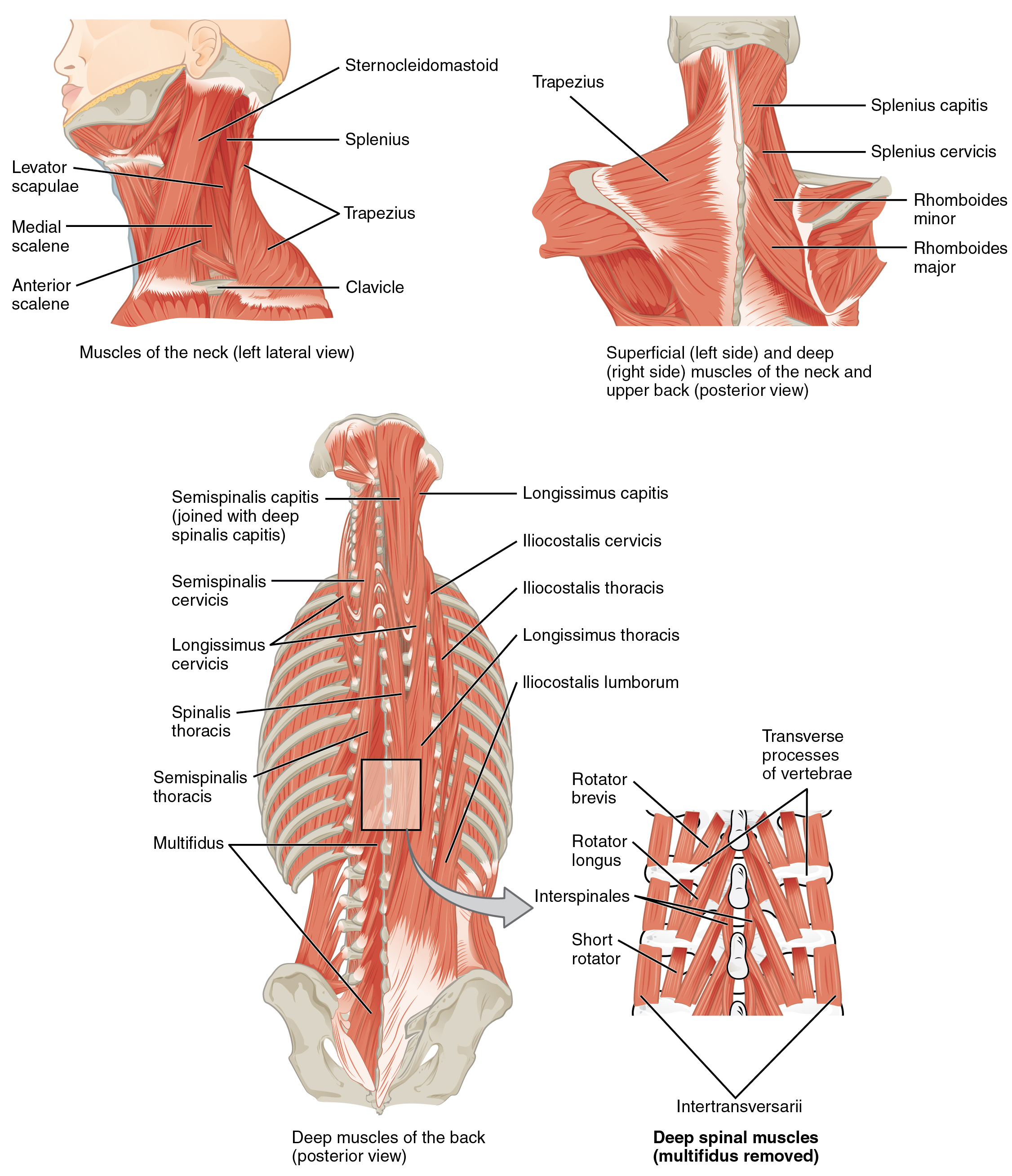 Axial Muscles Of The Head Neck And Back Anatomy Physiology