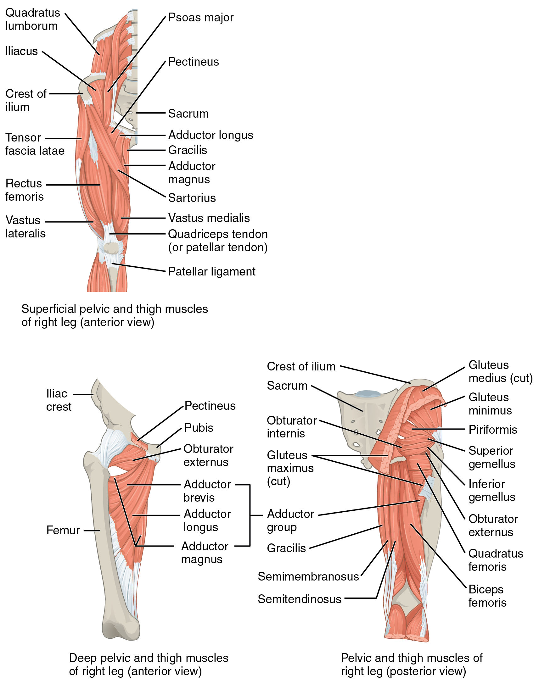 Appendicular Muscles of the Pelvic Girdle and Lower Limbs – Anatomy ...