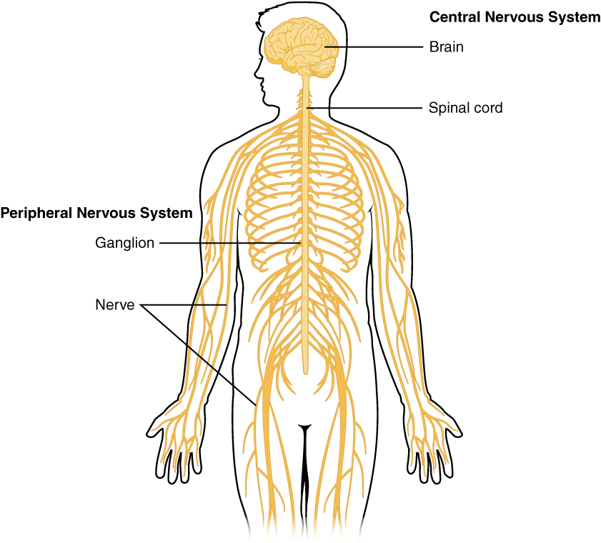 This diagram shows a silhouette of a human highlighting the nervous system. The central nervous system is composed of the brain and spinal cord. The brain is a large mass of ridged and striated tissue within the head. The spinal cord extends down from the brain and travels through the torso, ending in the pelvis. Pairs of enlarged nervous tissue, labeled ganglia, flank the spinal cord as it travels through the rib area. The ganglia are part of the peripheral nervous system, along with the many thread-like nerves that radiate from the spinal cord and ganglia through the arms, abdomen and legs.