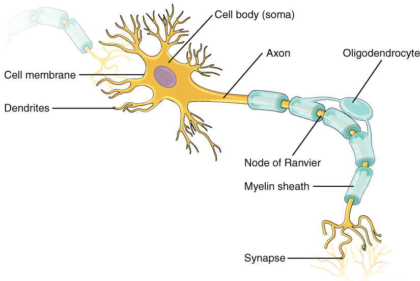 This illustration shows the anatomy of a neuron. The neuron has a very irregular cell body (soma) containing a purple nucleus. There are six projections protruding from the top, bottom and left side of the cell body. Each of the projections branches many times, forming small, tree-shaped structures protruding from the cell body. The right side of the cell body tapers into a long cord called the axon. The axon is insulated by segments of myelin sheath, which resemble a semitransparent toilet paper roll wound around the axon. The myelin sheath is not continuous, but is separated into equally spaced segments. The bare axon segments between the sheath segments are called nodes of Ranvier. An oligodendrocyte is reaching its two arm like projections onto two myelin sheath segments. The axon branches many times at its end, where it connects to the dendrites of another neuron. Each connection between an axon branch and a dendrite is called a synapse. The cell membrane completely surrounds the cell body, dendrites, and its axon. The axon of another nerve is seen in the upper left of the diagram connecting with the dendrites of the central neuron.
