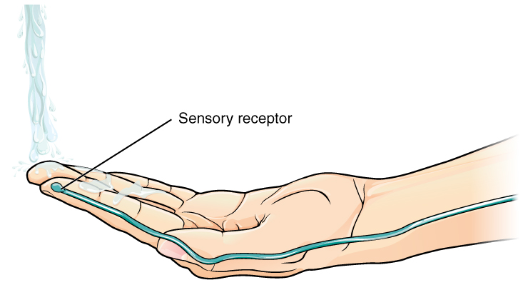 This diagram shows the first step of the previous figure. A hand is placed under flowing water, causing a sensory receptor in the index finger to send a nerve impulse down the arm, to the spinal cord.