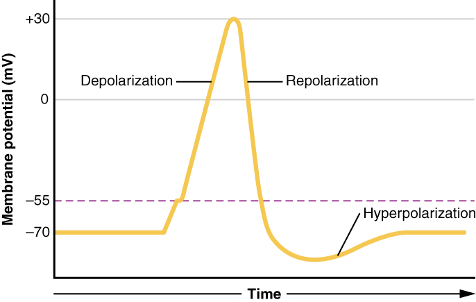 This graph has membrane potential, in millivolts, on the X axis, ranging from negative 70 to positive thirty. Time is on the X axis. The plot line starts steadily at negative seventy and then increases to negative 55 millivolts. The plot line then increases quickly, peaking at positive thirty. This is the depolarization phase. The plot line then quickly drops back to negative seventy millivolts. This is the repolarization phase. The plot line continues to drop but then gradually increases back to negative seventy millivolts. The area where the plot line is below negative seventy millivolts is the hyperpolarization phase.