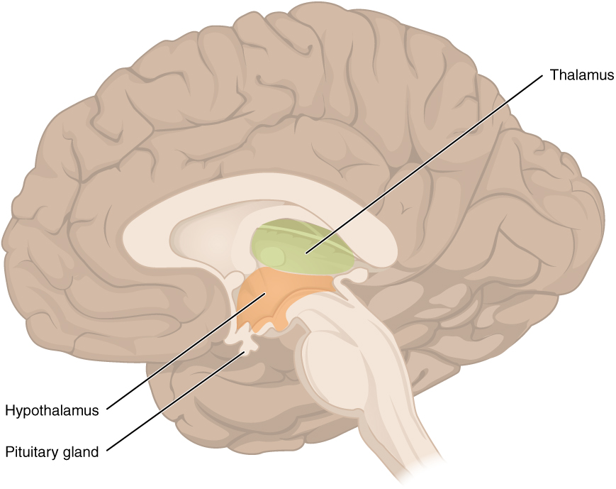 This figure shows the location of the thalamus, hypothalamus and pituitary gland in the brain.