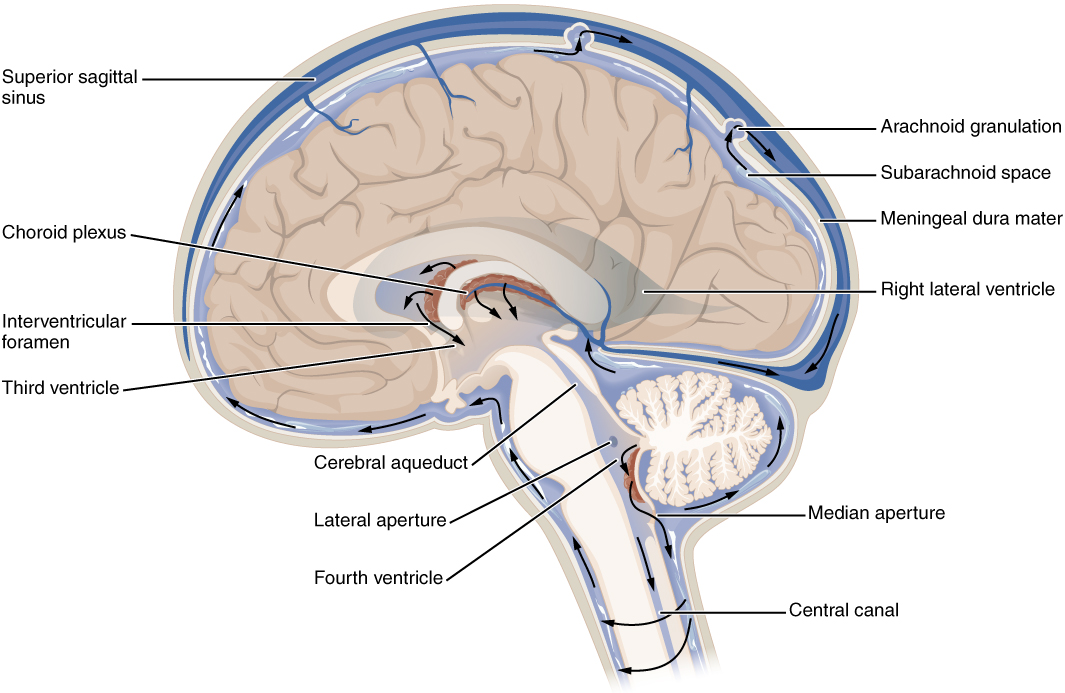 This diagram shows the cross section of the brain and the major parts are labeled. Arrows on the figure show the direction of circulation of the cerebro-spinal fluid.