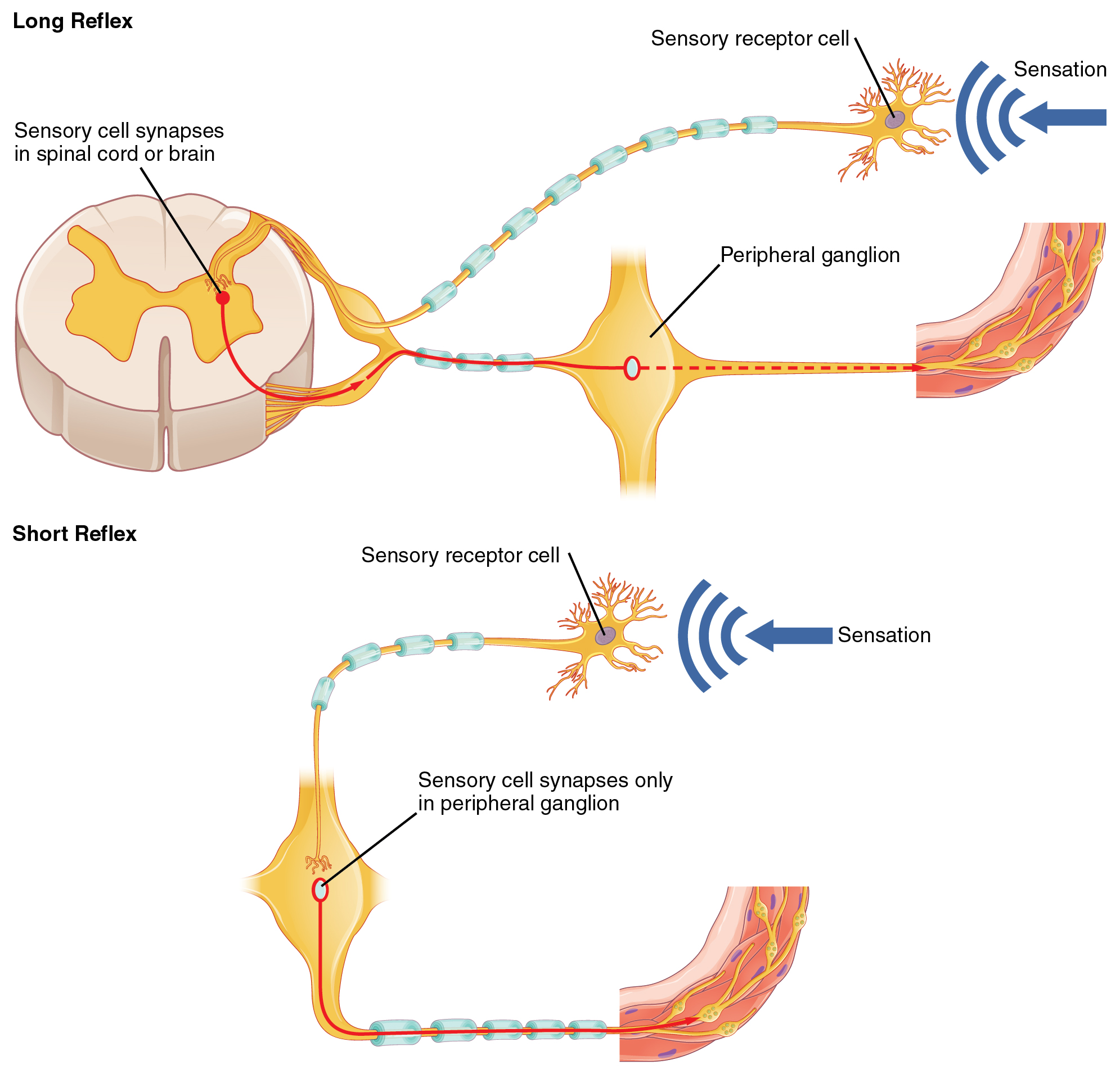 The top panel in this figure shows a long reflex, where the spinal cord is connected to the sensory receptor cell and the peripheral ganglion. The bottom panel shows a short reflex, where the sensory receptor cell is directly connected to the peripheral ganglion.