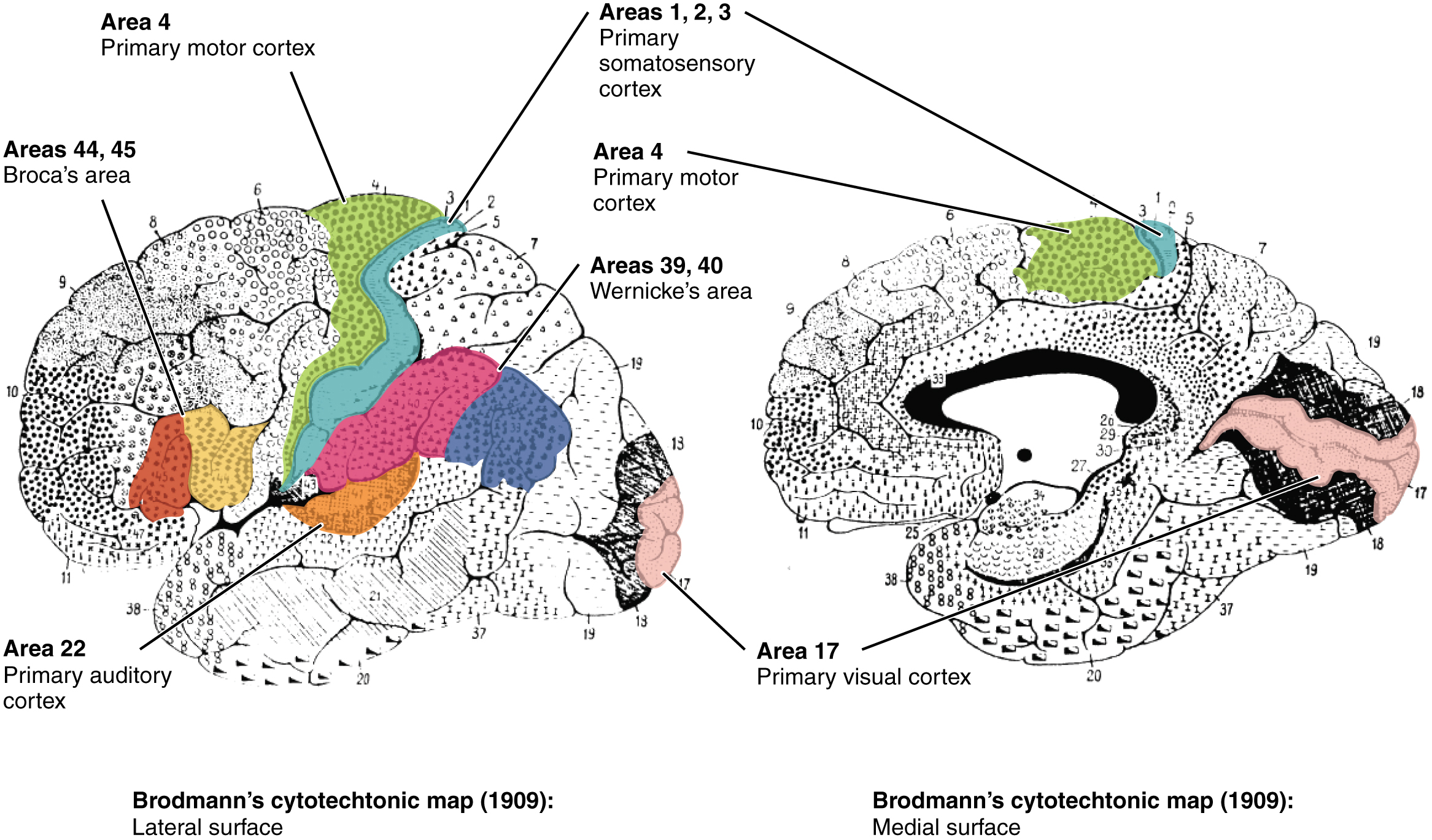 This figure shows a brain with the different regions highlighted in different colors. The left panel shows the lateral surface of the brain. The right panel shows the medial surface of the brain. The same color scheme is used to identify the different regions in both panels.