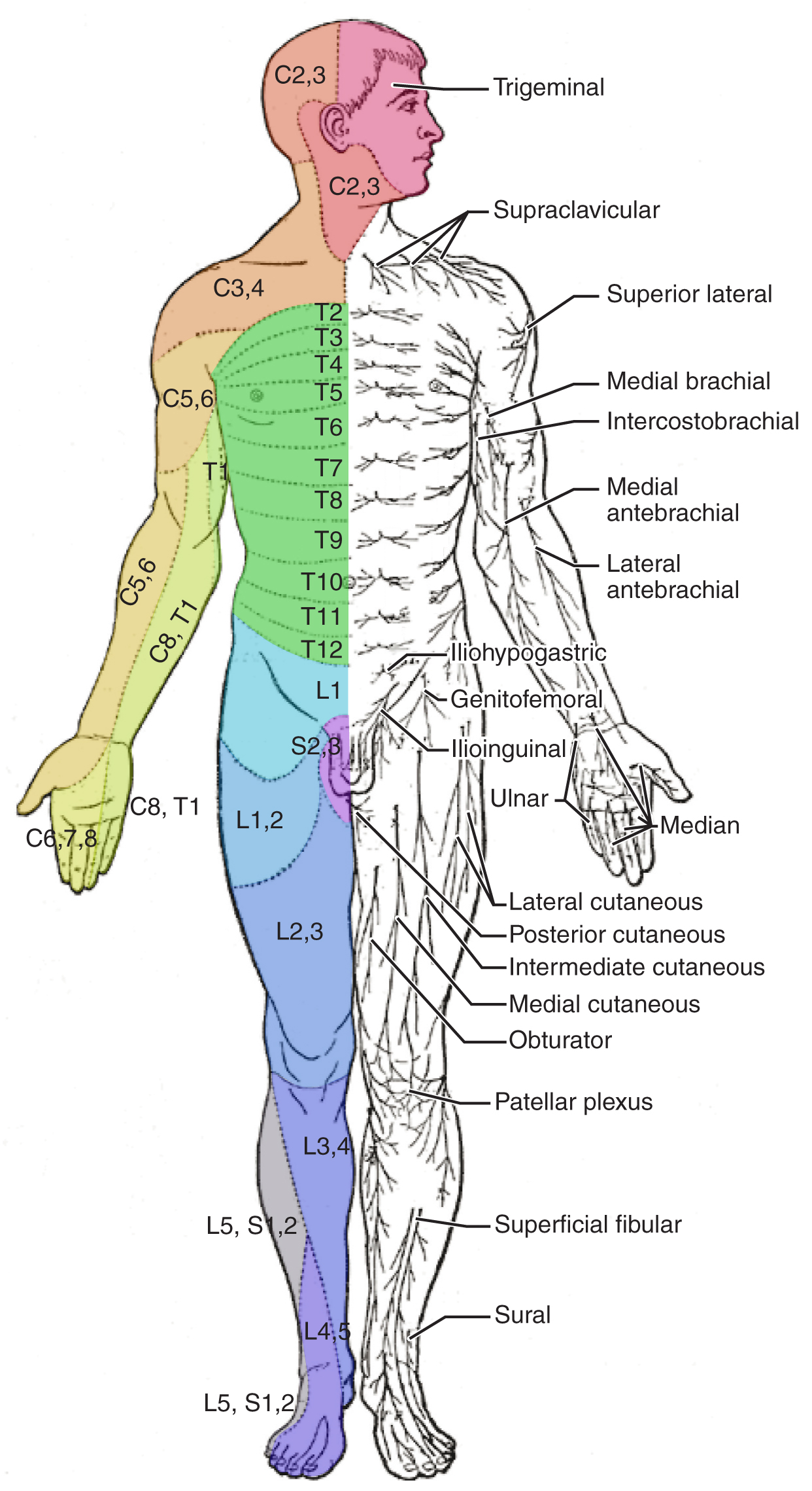 Both panels in this image show the front view of a human body. The left image shows different regions in different colors. In both images, different parts are labeled.