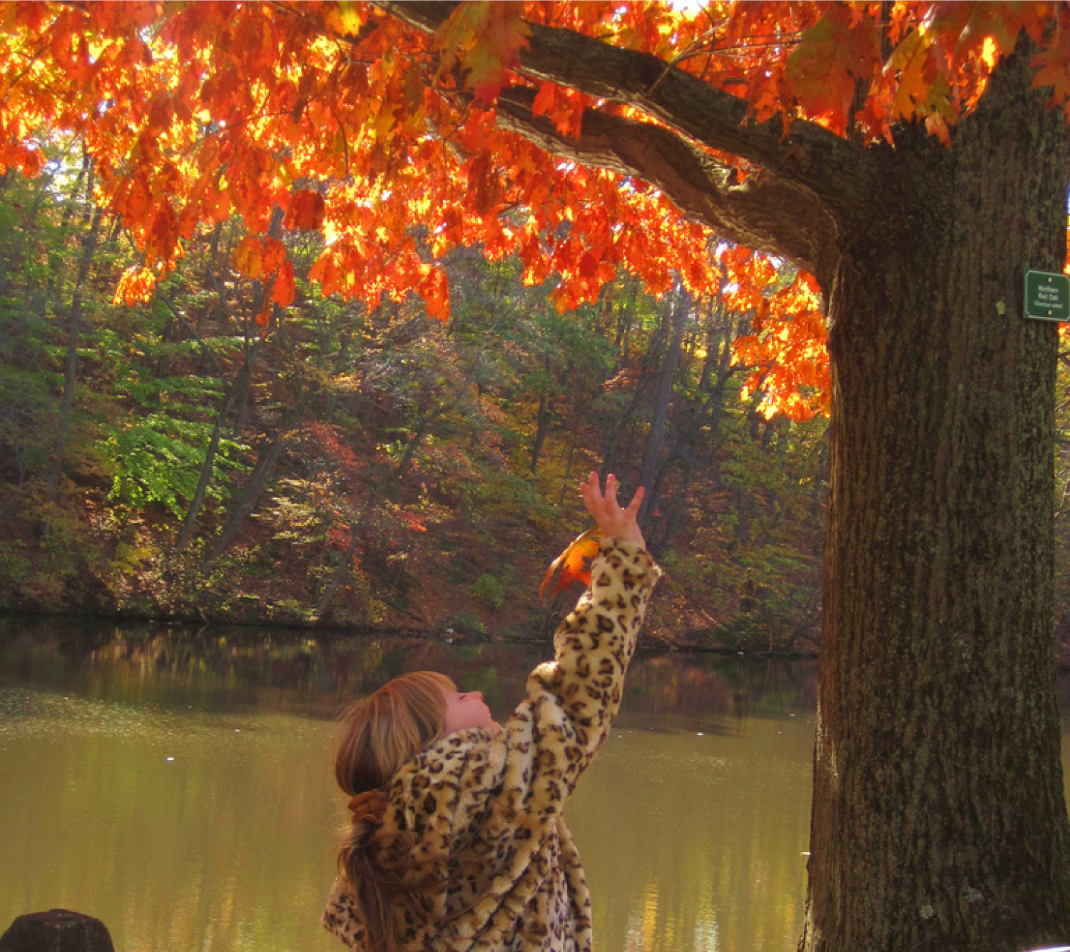 This photo shows a young girl reaching for an orange leaf on an oak tree. She is on a walkway near a creek. The opposite shore is a deep slope covered with more trees in autumn colors.
