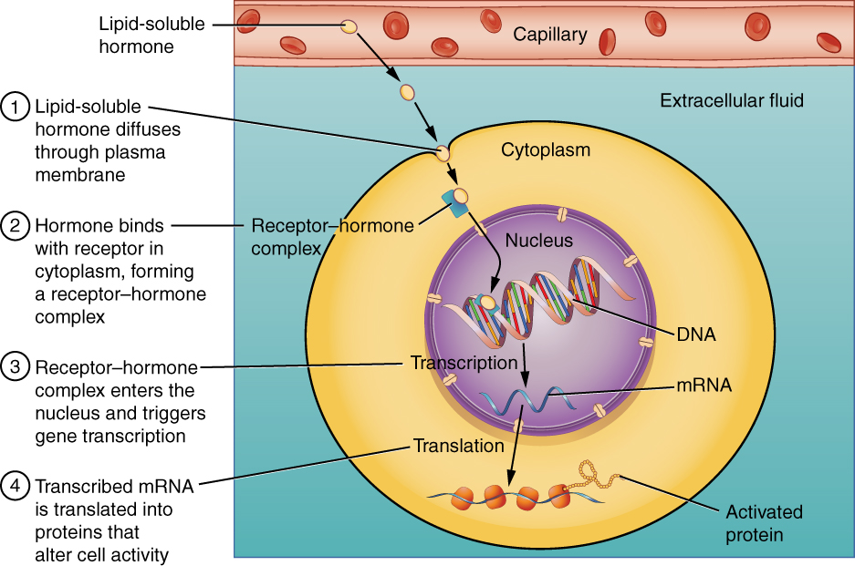 This illustration shows the steps involved with the binding of lipid-soluble hormones. Lipid-soluble hormones, such as steroid hormones, easily diffuse through the cell membrane. The hormone binds to its receptor in the cytosol, forming a receptor-hormone complex. The receptor-hormone complex then enters the nucleus and binds to the target gene on the cell's DNA. Transcription of the gene creates a messenger RNA that is translated into the desired protein within the cytoplasm. It is these proteins that alter the cell's activity.
