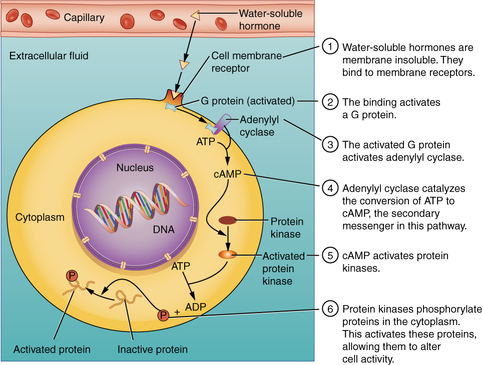 This illustration shows the binding of water-soluble hormones. Water-soluble hormones cannot diffuse through the cell membrane. These hormones must bind to a receptor on the outer surface of the cell membrane. The receptor then activates a G protein in the cytoplasm, which travels to and activates adenylyl cyclase. Adenylyl cyclase catalyzes the conversion of ATP to CAMP, the secondary messenger in this pathway. CAMP, in turn, activates protein kinases, which phosphorylate proteins in the cytoplasm. This phosphorylation, shown as a P being added to a polypeptide chain, activates the proteins, allowing them to alter cell activity.
