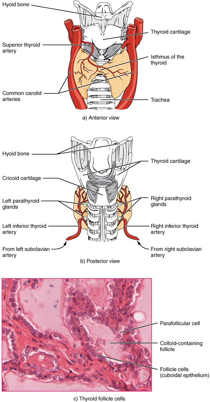 "Part A of this figure is a diagram of the anterior view of the thyroid gland. The thyroid gland is a butterfly-shaped gland wrapping around the trachea. It narrows at its center, just under the thyroid cartilage of the larynx. This narrow area is called the isthmus of the thyroid. Two large arteries, the common carotid arteries, run parallel to the trachea on the outer border of the thyroid. A small artery enters the superior edge of the thyroid, near the isthmus, and branches throughout the two ""wings"" of the thyroid. Part B of this figure is a posterior view of the thyroid. The posterior view shows that the thyroid does not completely wrap around the posterior of the trachea. The posterior sides of the thyroid wings can be seen protruding from under the cricoid cartilage of the larynx. The posterior sides of the thyroid ""wings"" each contain two small, disc-shaped parathyroid glands embedded in the thyroid tissue. Within each wing, one disc is located superior to the other. These are labeled the left and right parathyroid glands. Just under the inferior parathyroid glands are two arteries that bring blood to the thyroid from the left and right subclavian arteries. Part C of this figure is a micrograph of thyroid tissue. The thyroid follicle cells are cuboidal epithelial cells. These cells form a ring around irregular-shaped cavities called follicles. The follicles contain light colored colloid. A larger parafollicular cell is embedded between two of the follicular cells near the edge of a follicle."