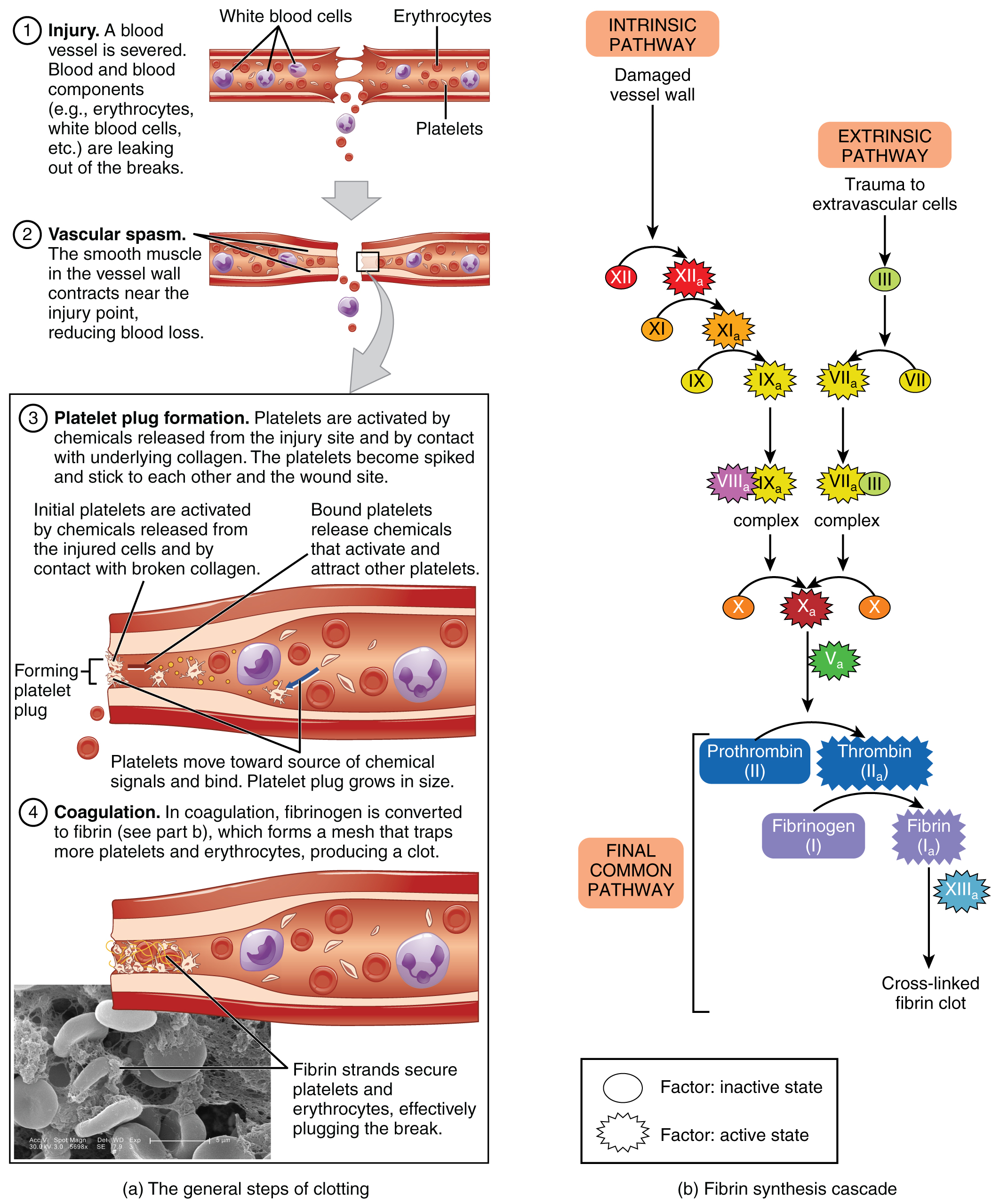 This figure details the steps in the clotting of blood. Each step is shown along with a detailed text box describing the steps on the left. On the right, a signaling pathway shows the different chemical signals involved in the clotting process.
