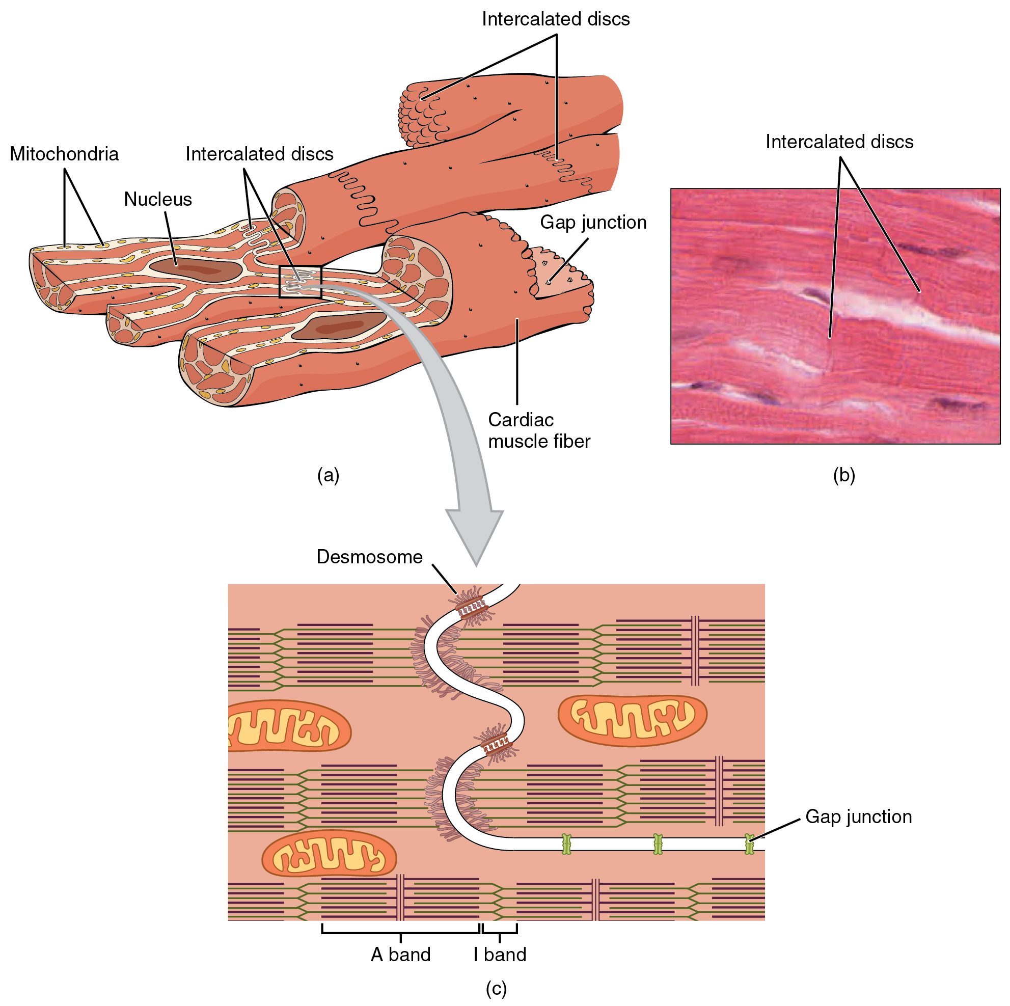 The top left panel of this figure shows the cross structure of cardiac muscle with the major parts labeled. The top right panel shows a micrograph of cardiac muscle. The bottom panel shows the structure of intercalated discs.