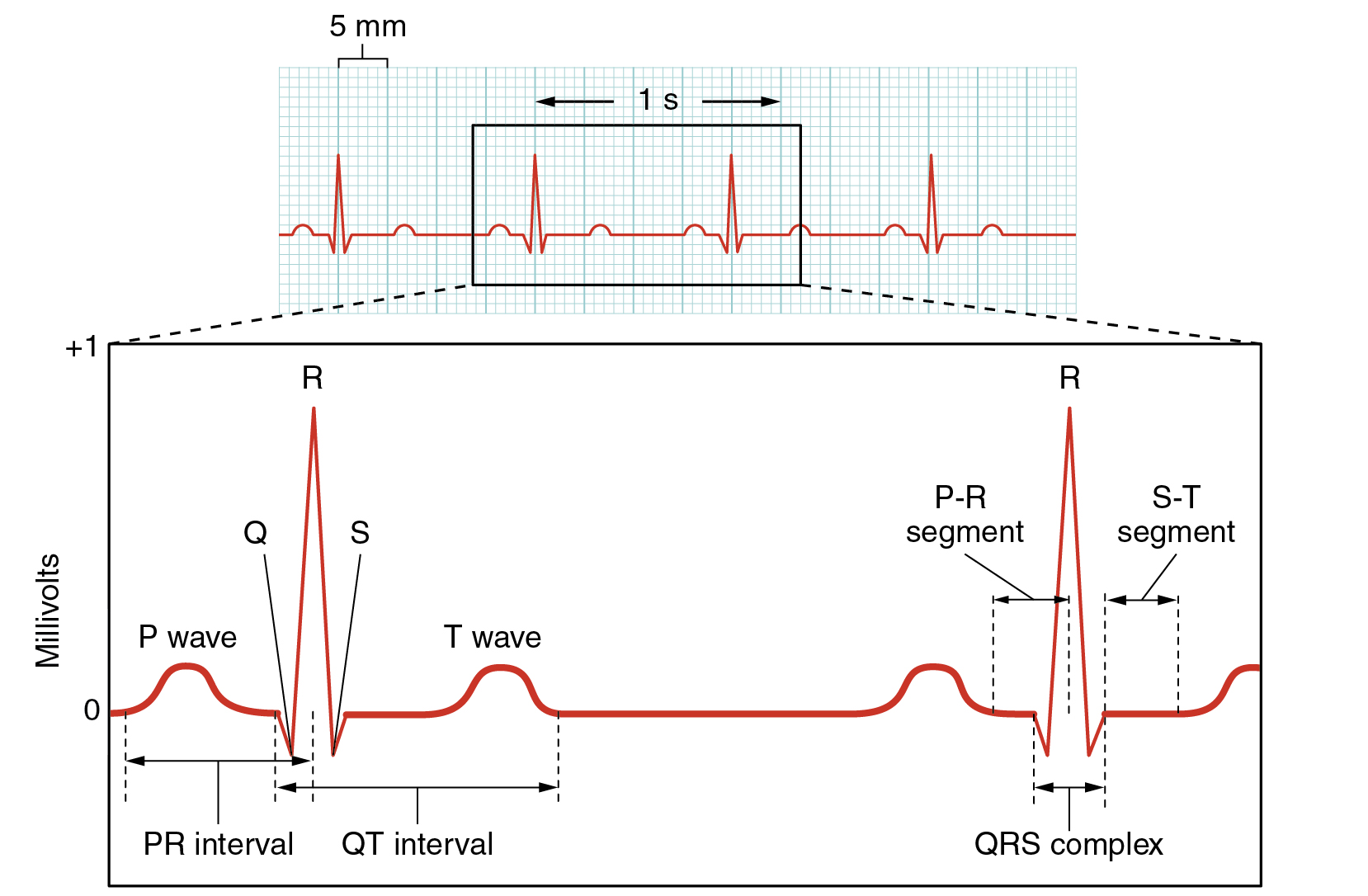 This figure shows a graph of millivolts over time and the heart cycles during an ECG.