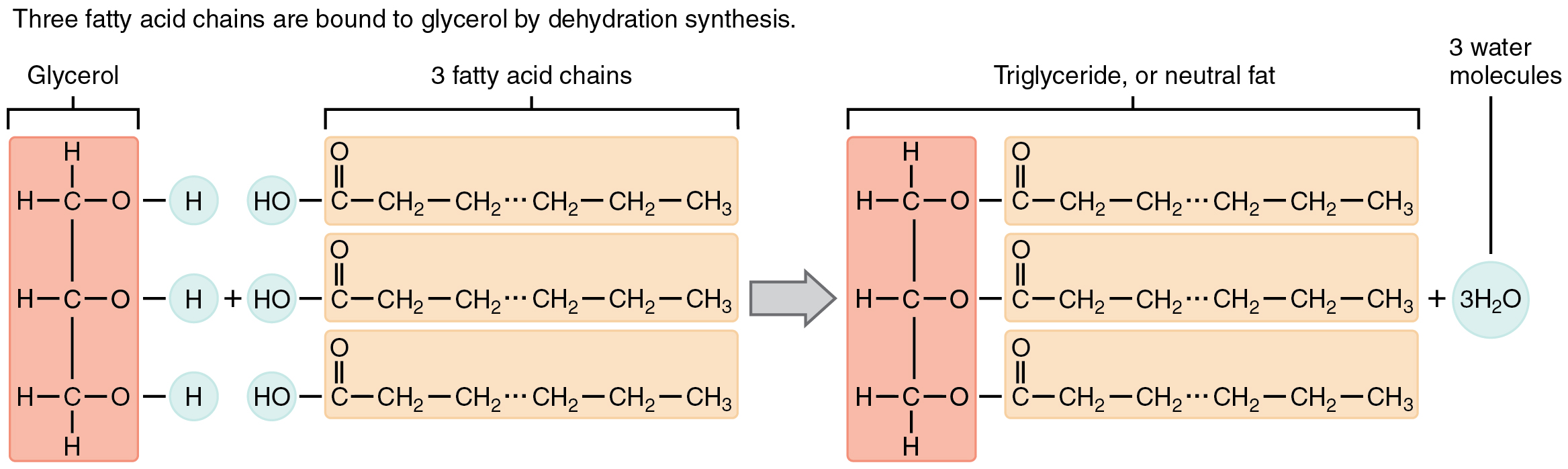 This image shows the reaction for the formation of triglycerides.