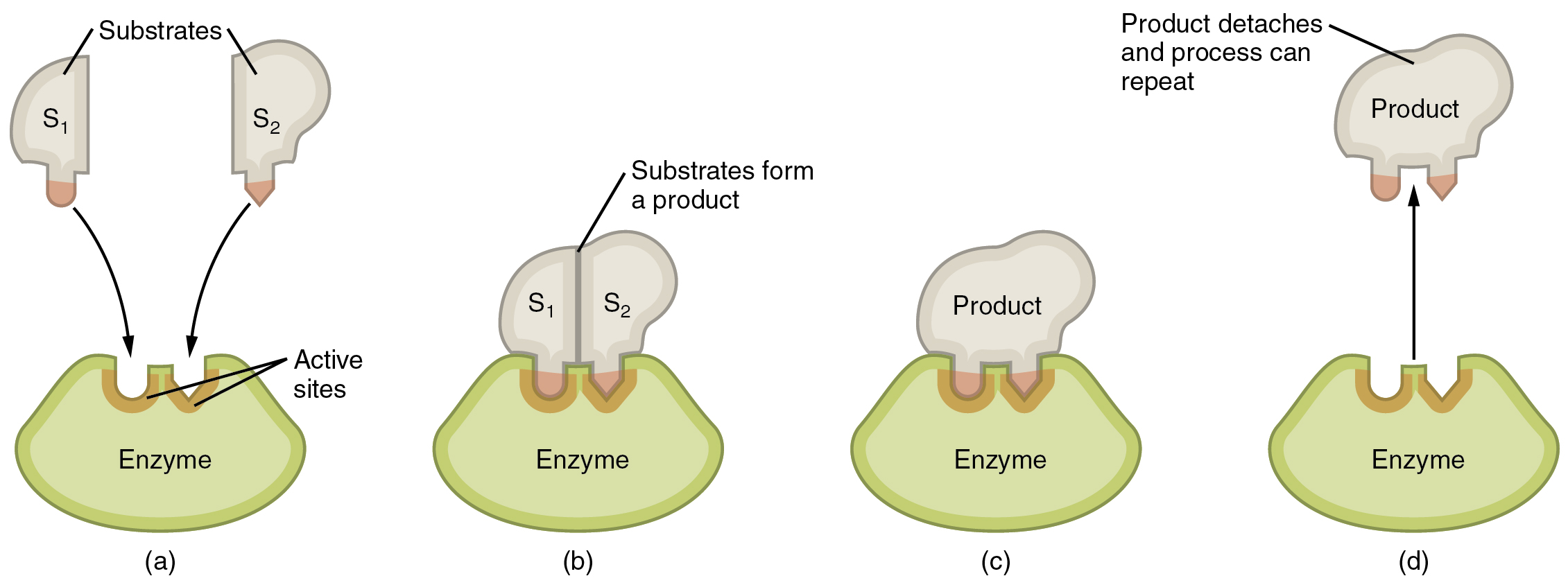 This image shows the steps in which an enzyme can act. The substrate is shown binding to the enzyme, forming a product, and the detachment of the product.