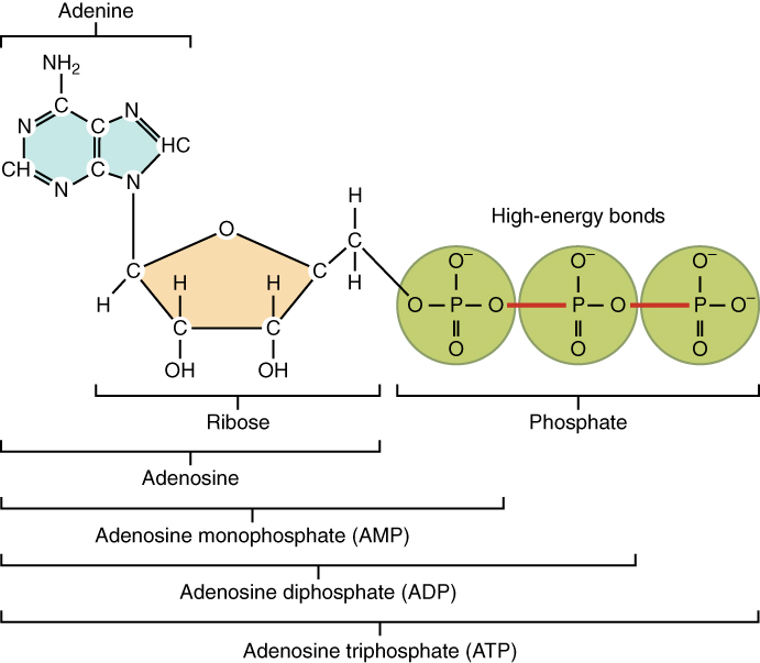 This figure shows the structure of ATP.