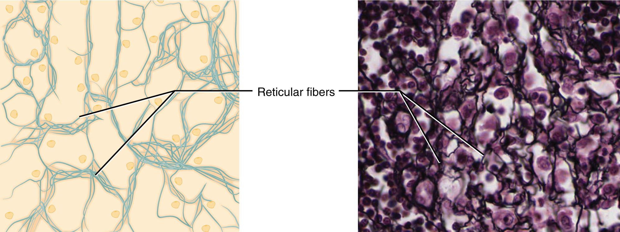 This figure shows reticular tissue alongside a micrograph. The diagram shows a series of small, oval cells embedded in a yellowish matrix. Thin reticular fibers spread and crisscross throughout the matrix. In the micrograph, the reticular fibers are thin, dark, and seem to travel between the many deeply stained cells.