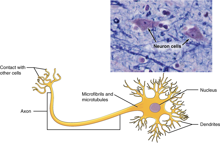 This figure shows a diagram of a neuron and a micrograph showing two neuron cells. The body of the neuron contains a single, purple nucleus. The cell is irregularly shaped, having many projections emerging from its surface. Six sets of dendrites project from the top, right, and bottom edges of the cell. The dendrites are yellow and branch many times after leaving the cell, taking on the appearance of tiny trees. The axon projects from the left edge of the cell. The axon is a long cable like structure that branches into several finger like projections at its end. This is where the neuron makes contact with other cells. A label also notes that the area where the axon emerges from the cell body contains microfibrils and microtubules. The micrograph is considerably less magnified than the diagram. The neurons stain darkly and their nuclei are clearly visible. Their irregular cell body is also visible, along with the beginning of the axons.