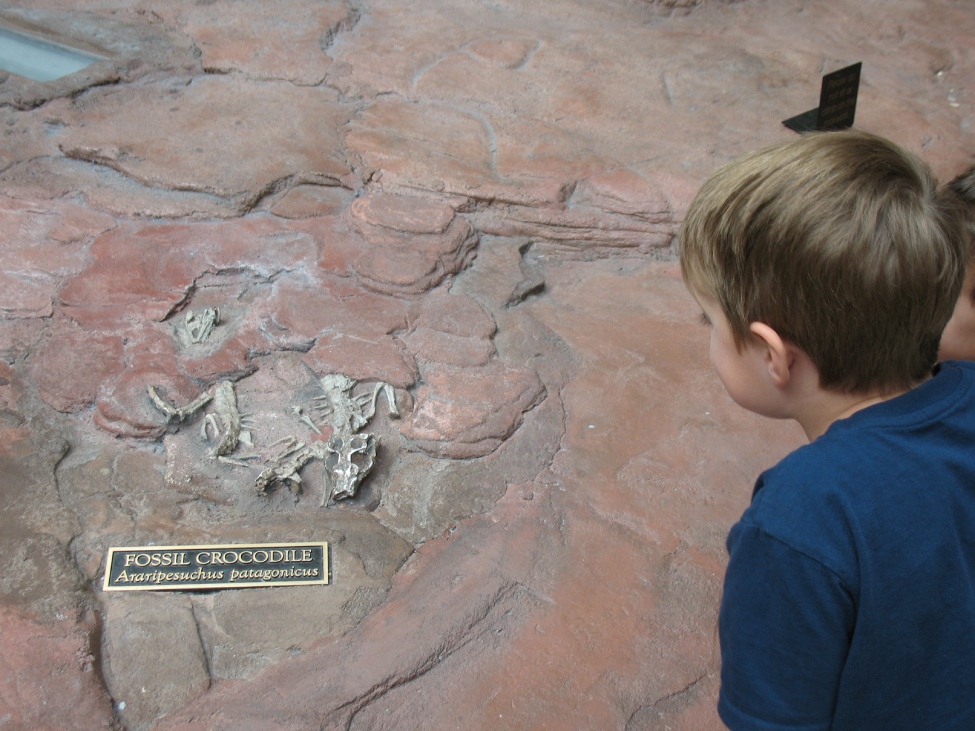 This photo shows a boy looking at a museum exhibit that contains two fossilized crocodile skeletons embedded within a large boulder. The skull, spine and forelimbs of one of the crocodiles are visible.