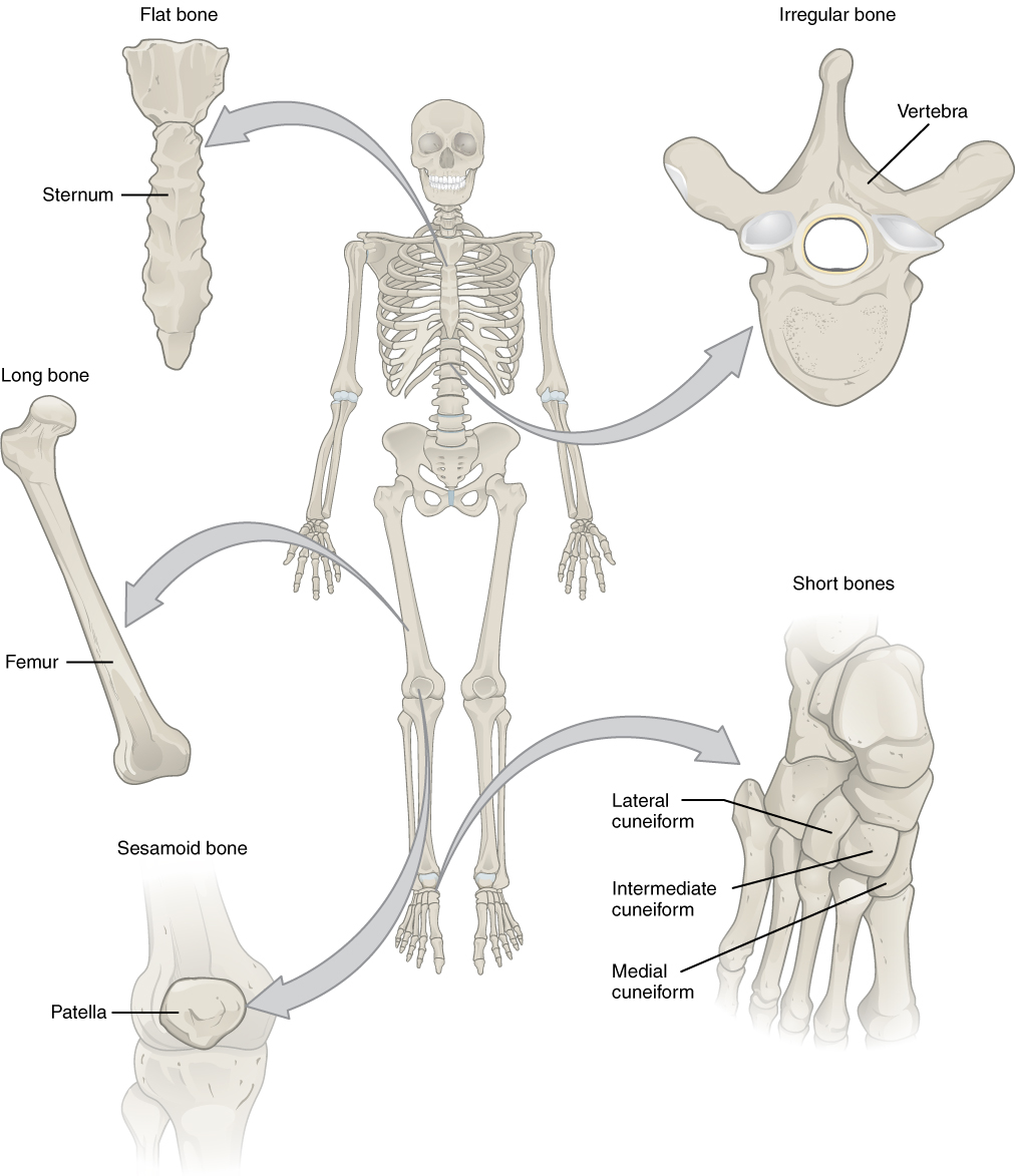 anatomy and physiology of bones