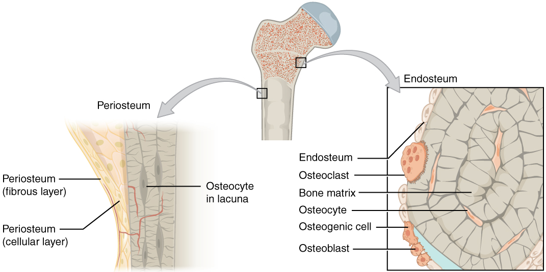 The top of this illustration shows an anterior view of the proximal end of the femur. The top image has two zoom in boxes. The left box is situated on the border between the diaphysis and the metaphysis. Its callout magnifies the periosteum on the right side of the femur. The view shows that the periosteum contains an outer fibrous layer composed of yellow fibers. The inner layer of the periosteum is called the cellular layer, which is composed of irregularly shaped cells. The cellular layer gradually shrinks in width as it transitions from the metaphysis to the diaphysis. A small blood vessel runs through both layers and enters the bone. The right zoom in box magnifies the endosteum on the left side of the bone. The box is situated just inferior to the border between the diaphysis and the metaphysic. It calls out the inner edge of the compact bone layer. The magnified view shows concentric circles of dark colored bone matrix. Between the circles are small cavities containing orange, diamond-shaped cells labeled osteocytes. The left edge of the bone matrix is lined with a single layer of flattened cells called the endosteum. There is a large cell, labeled an osteoclast, between two of the endosteum cells. The osteoclast is cutting a depression into the bony matrix under the endosteum. At another part of the endosteum, three smaller osteoblasts are secreting a blue substance that builds up the outermost layer of the bony matrix.