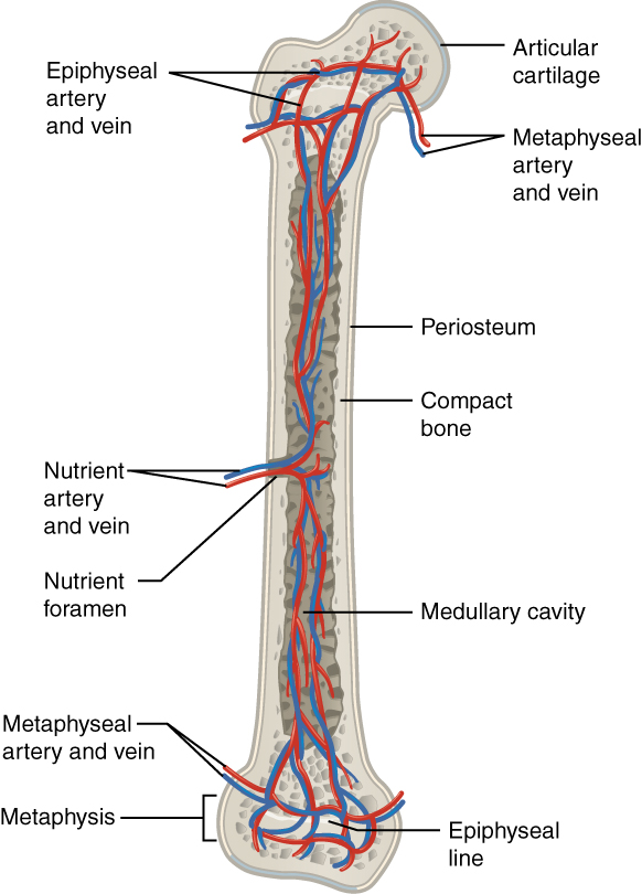 This illustration shows an anterior view if the right femur. The femur is split in half lengthwise to show its internal anatomy. The outer covering of the femur is labeled the periosteum. Within it is a thin layer of compact bone that surrounds a central cavity called the medullary or marrow cavity. This cavity is filled with spongy bone at both epiphyses. A nutrient artery and vein travels through the periosteum and compact bone at the center of the diaphysis. After entering the bone, the nutrient arteries and veins spread throughout the marrow cavity in both directions. Some of the arteries and veins in the marrow cavity also spread into the spongy bone within the distal and proximal epiphyses. However, additional blood vessels called the metaphyseal arteries and the metaphyseal veins enter into the metaphysis from outside of the bone.