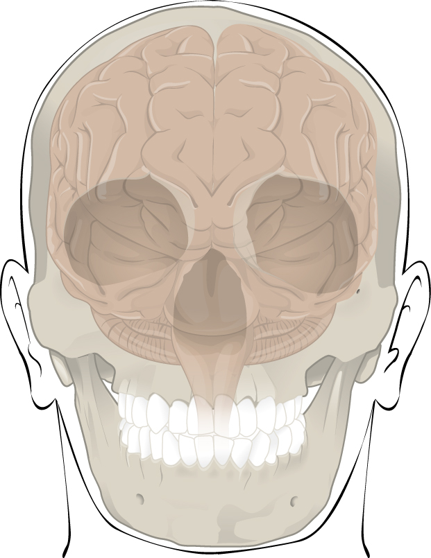 This illustration shows how the cranium protects and surrounds the brain. Only the outline of the cranium is visible, which is made transparent to show how the brain sits in the skull. There is a small amount of space between the brain and the cranium but the top and sides of the brain are completely protected by the cranial bones. The bottom of the brain extends below the cranial bones, with the base of the cerebellum seated just above the roof of the mouth. The medulla extends to the bottom of the skull where it meets with the spinal cord.
