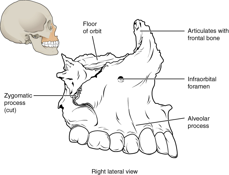 This image shows the location and structure of the maxilla. A small image of the skull on the top left shows the maxilla in ochre yellow. A magnified view shows the detailed structure of the maxilla.