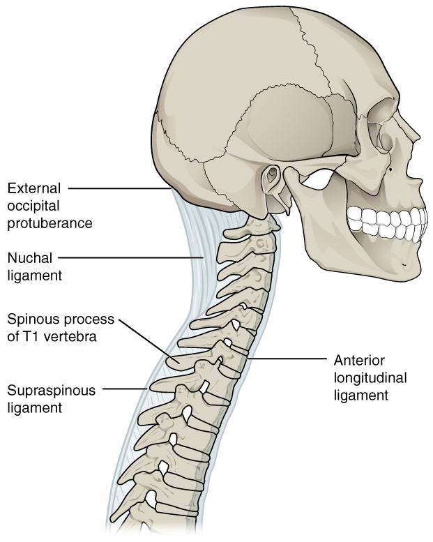 In this image, a lateral view of the skull and the upper part of the vertebral column is shown. The ligaments that connect the different bones are shown in light blue and are labeled.