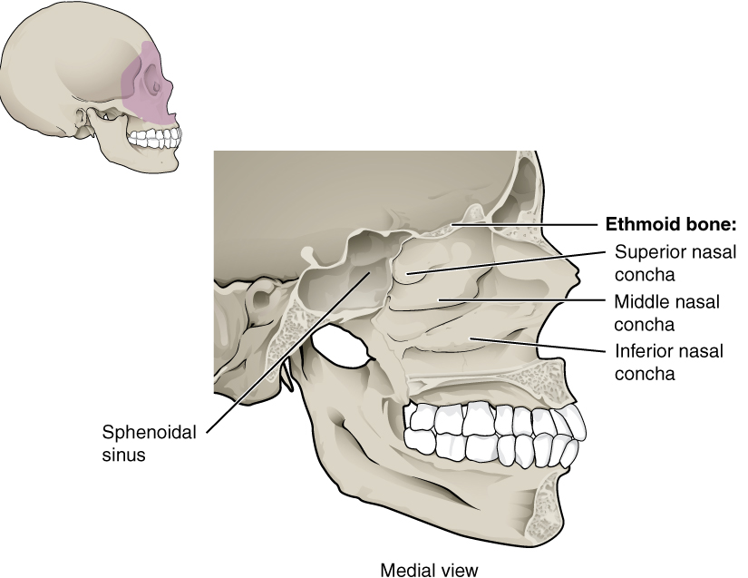 This figure shows the structure of the nasal cavity. A lateral view of the human skull is shown on the top left with the nasal cavity highlighted in purple. A magnified view of the nasal cavity shows the various bones present and their location.