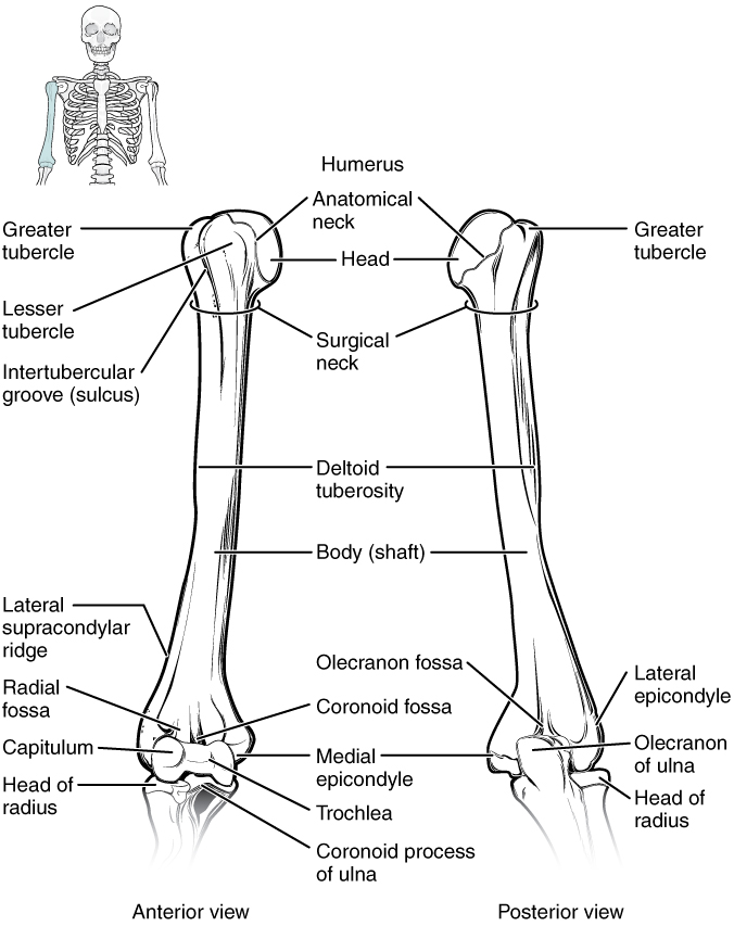 This diagram shows the bones of the upper arm and the elbow joint. The left panel shows the anterior view, and the right panel shows the posterior view.