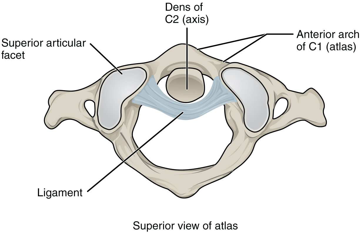 This figure shows the structure of the atlantoaxial joint.