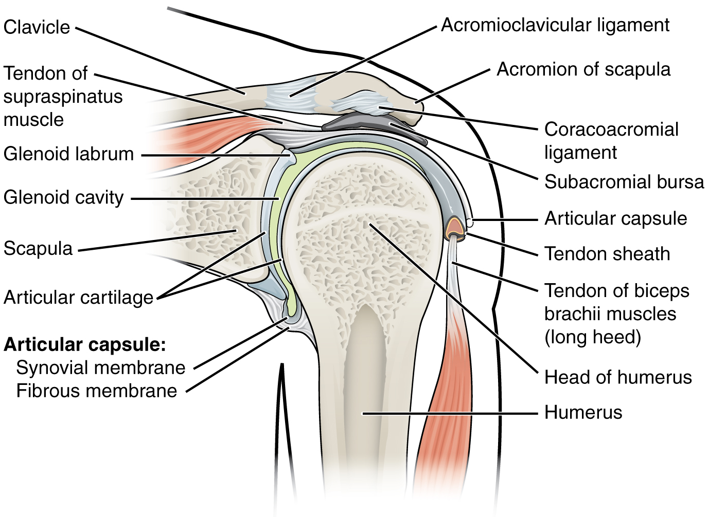 This figure shows the structure of the shoulder joint. The main ligaments and parts are labeled.