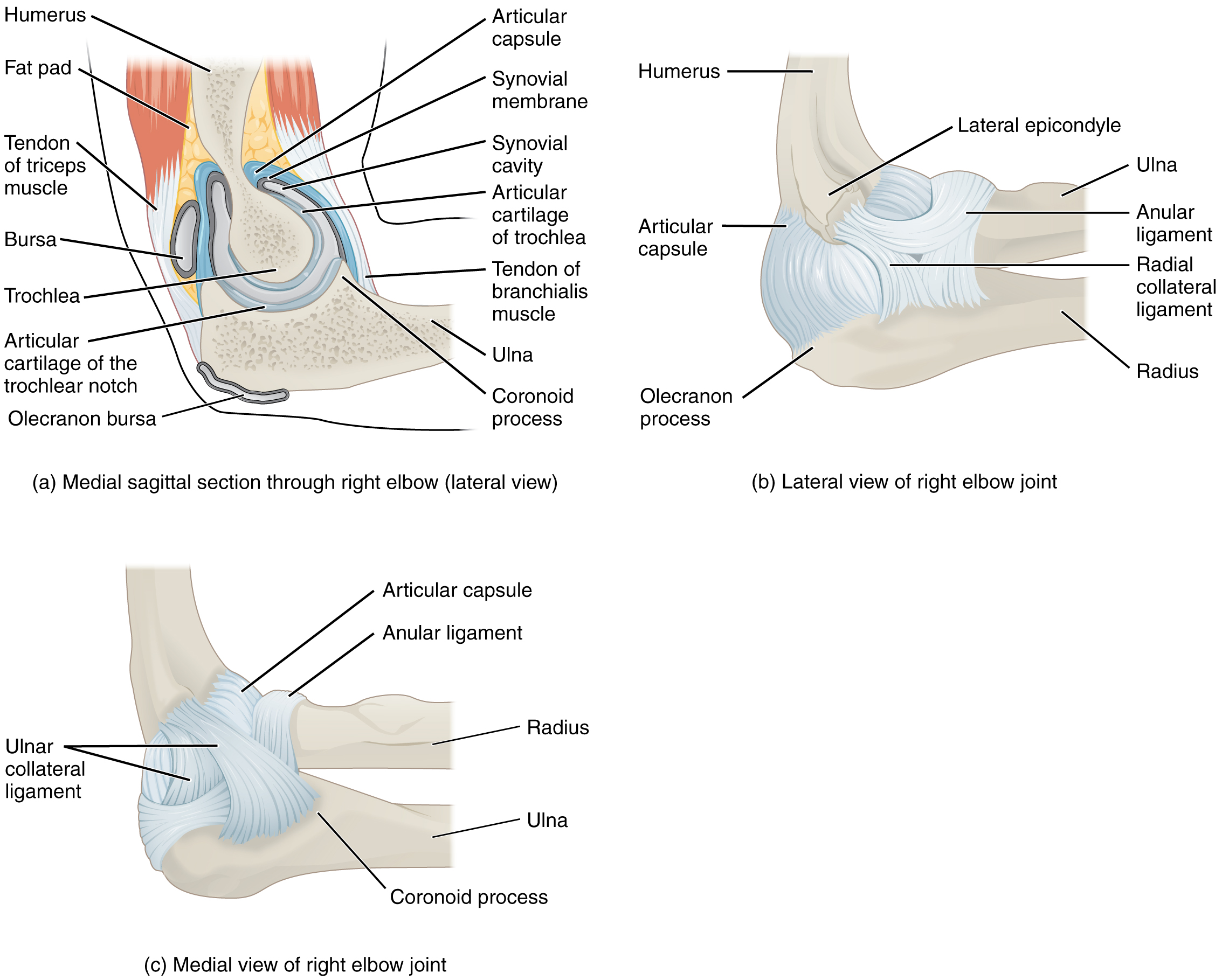 Anatomy of Selected Synovial Joints – Anatomy & Physiology