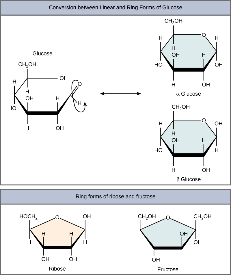 The conversion of glucose between linear and ring forms is shown. The glucose ring has five carbons and an oxygen. In alpha glucose, the first hydroxyl group is locked in a down position, and in beta glucose, the ring is locked in an up position. Structures for ring forms of ribose and fructose are also shown. Both sugars have a ring with four carbons and an oxygen.