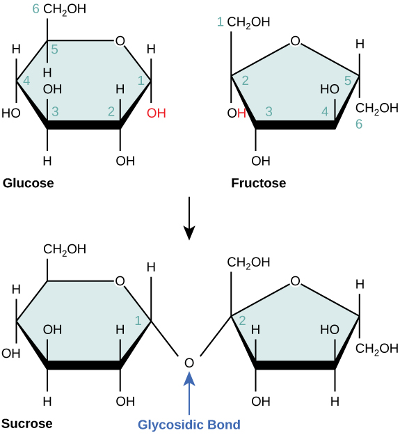 The formation of sucrose from glucose and fructose is shown. In sucrose, the number one carbon of the glucose ring is connected to the number two carbon of fructose via an oxygen.