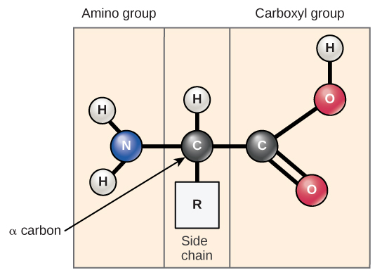 "The molecular structure of an amino acid is given. An amino acid has an alpha carbon to which an amino group, a carboxyl group, a hydrogen, and a side chain are attached. The side chain varies for different amino acids, and is designated with an ""R."""