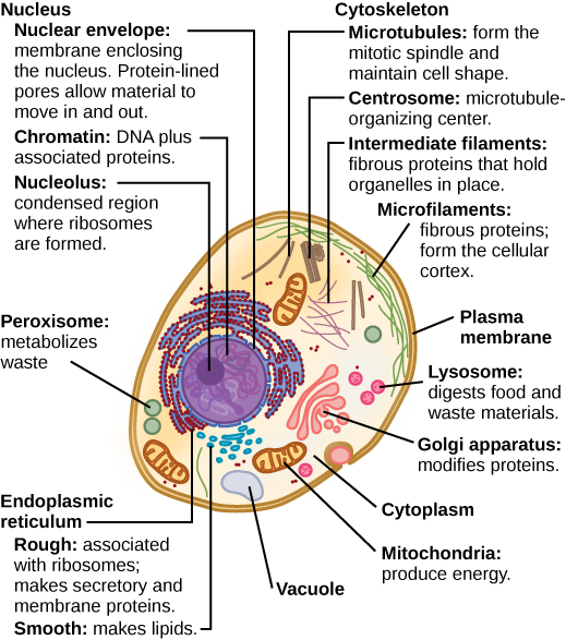 Part a: This illustration shows a typical eukaryotic animal cell, which is egg shaped. The fluid inside the cell is called the cytoplasm, and the cell is surrounded by a cell membrane. The nucleus takes up about one-half the width of the cell. Inside the nucleus is the chromatin, which is composed of DNA and associated proteins. A region of the chromatin is condensed into the nucleolus, a structure where ribosomes are synthesized. The nucleus is encased in a nuclear envelope, which is perforated by protein-lined pores that allow entry of material into the nucleus. The nucleus is surrounded by the rough and smooth endoplasmic reticulum, or ER. The smooth ER is the site of lipid synthesis. The rough ER has embedded ribosomes that give it a bumpy appearance. It synthesizes membrane and secretory proteins. In addition to the ER, many other organelles float inside the cytoplasm. These include the Golgi apparatus, which modifies proteins and lipids synthesized in the ER. The Golgi apparatus is made of layers of flat membranes. Mitochondria, which produce food for the cell, have an outer membrane and a highly folded inner membrane. Other, smaller organelles include peroxisomes that metabolize waste, lysosomes that digest food, and vacuoles.  Ribosomes, responsible for protein synthesis, also float freely in the cytoplasm and are depicted as small dots. The last cellular component shown is the cytoskeleton, which has four different types of components: microfilaments, intermediate filaments, microtubules, and centrosomes. Microfilaments are fibrous proteins that line the cell membrane and make up the cellular cortex. Intermediate filaments are fibrous proteins that hold organelles in place. Microtubules form the mitotic spindle and maintain cell shape. Centrosomes are made of two tubular structures at right angles to one another. They form the microtubule-organizing center.