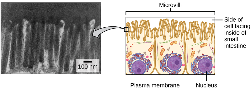 The left part of this figure is a transmission electron micrograph of microvilli, which appear as long, slender stalks extending from the plasma membrane. The right side illustrates cells containing microvilli. The microvilli cover the surface of the cell facing the interior of the small intestine.