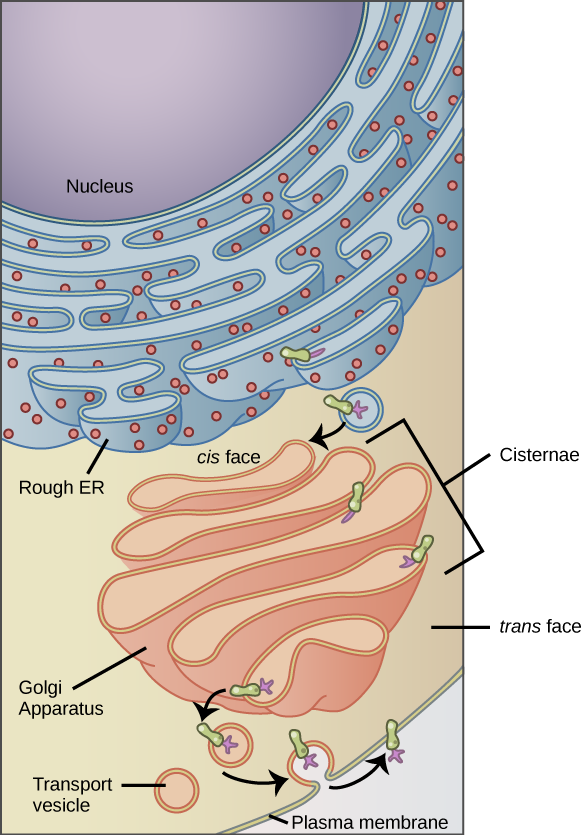 The left part of this figure shows the rough ER with an integral membrane protein embedded in it. The part of the protein facing the inside of the ER has a carbohydrate attached to it. The protein is shown leaving the ER in a vesicle that fuses with the cis side of the Golgi apparatus. The Golgi apparatus consists of several layers of membranes, called cisternae. As the protein passes through the cisternae, it is further modified by the addition of more carbohydrates. Eventually, it leaves the trans face of the Golgi in a vesicle. The vesicle fuses with the cell membrane so that the carbohydrate that was on the inside of the vesicle now faces the outside of the membrane. At the same time, the contents of the vesicle are ejected from the cell.