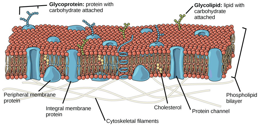 This illustration shows a phospholipid bilayer with proteins and cholesterol embedded in it. Integral membrane proteins span the entire membrane. Protein channels are integral membrane proteins with a central pore through which molecules can pass. Peripheral proteins are associated with the phospholipid head groups on one side of the membrane only. A glycoprotein is shown with the protein portion of the molecule embedded in the membrane and the carbohydrate portion jutting out from the membrane. A glycolipid is also shown with the lipid portion embedded in the membrane and the carbohydrate portion jutting out of the membrane.