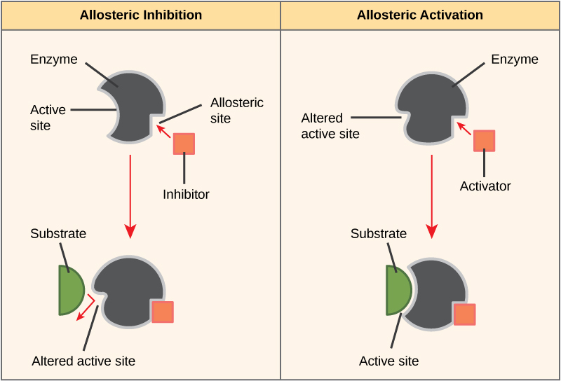 The left part of this diagram shows allosteric inhibition. The allosteric inhibitor binds to the enzyme at a site other than the active site. The shape of the active site is altered so that the enzyme can no longer bind to its substrate. The right part of this diagram shows allosteric activation. The allosteric activator binds to the enzyme at a site other than the active site. The shape of the active site is changed, allowing substrate to bind at a higher affinity.